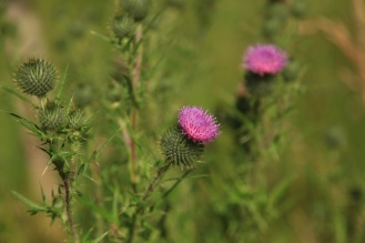 Thistle ©hk photography